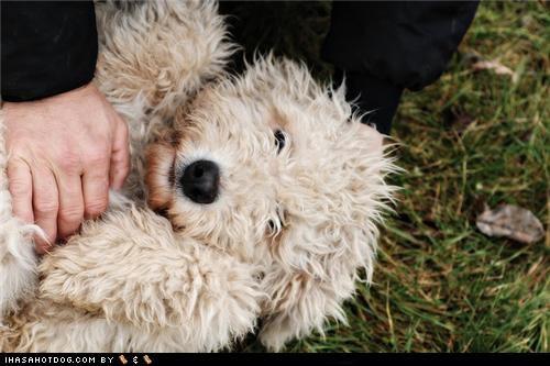 belly,happy,komondor,petting,puppy,rub,rubbing,themed goggie week