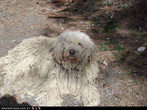 blending in,camouflage,doing it right,komondor,nature,outside,themed goggie week
