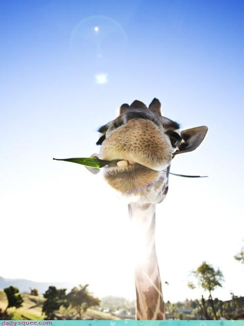 accent,acting like animals,chewing,dialect,giraffes,law,leaf,sheriff,village,western