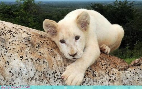adopt,baby,brother,cub,family,lion,please,question,recognition,recognizing,wide eyed