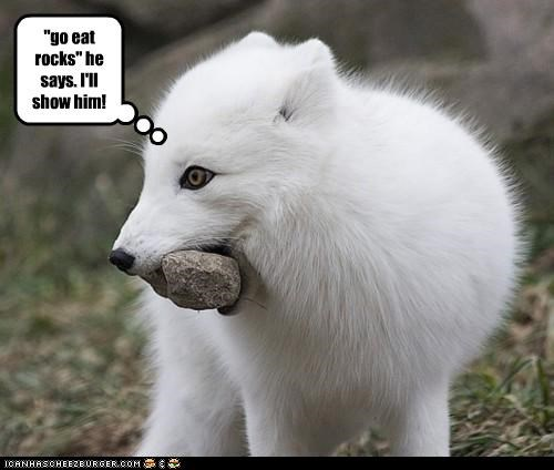 arctic fox,caption,captioned,Command,confused,fox,go eat rocks,insult,literalism,misinterpretation,serious,upset