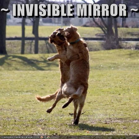 golden retriever,invisible,irish wolfhound,jumping,mirror,playing,reflection