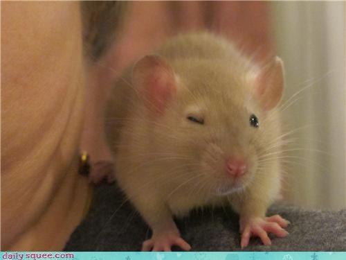 baby,rat,reader squees,shoulder,sitting,wink,winking