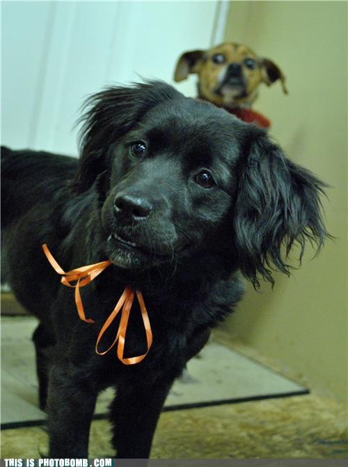 animals,cute,photobomb,property issues,puppies,Sundog
