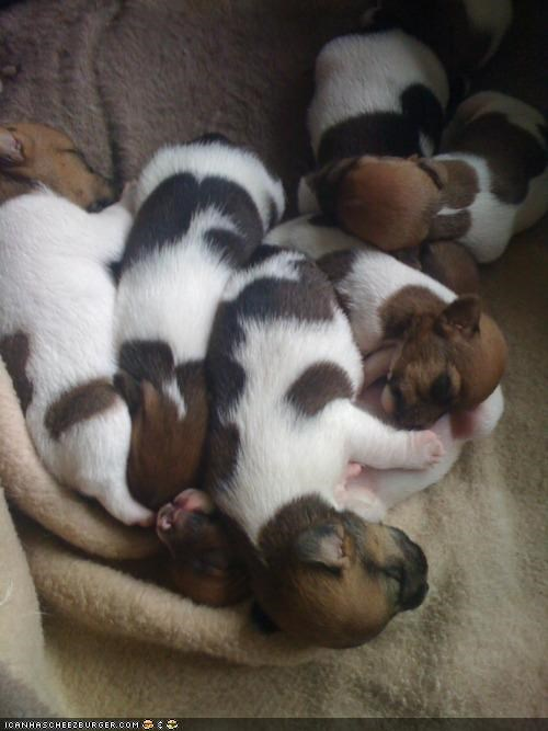 asleep,cuddling,cyoot puppeh ob teh day,jack russell terrier,pile,puppies,puppy,puppy love,sleeping