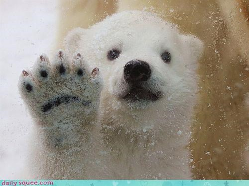 acting like animals,baby,bear,cub,do want,friends,friendship,glass,hello,hi,lonely,noms,patty cake,paw,pawing,playing,polar bear,question,request,Sad,sharing