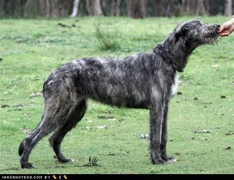 biting,feeding,feeds,hand,irish wolfhound,licking,nomming,posing,pretty,themed goggie week