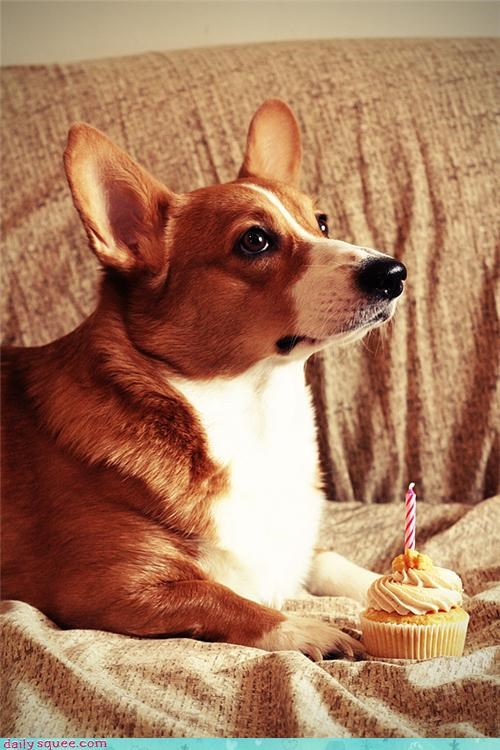 Birthday Corgi!