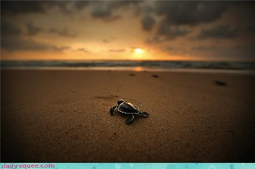 Squee Spree: Sea Turtle at Sunset