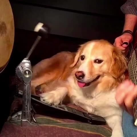 Maple the Dog is a Musical Sensation on Vine