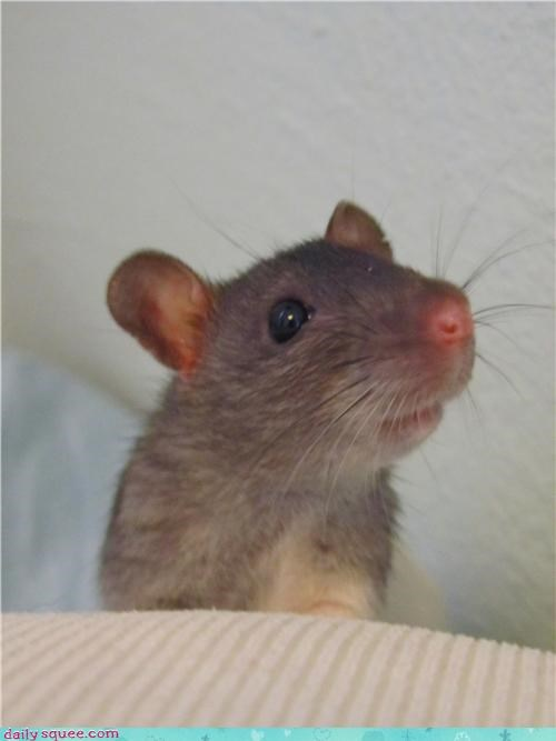 Sascha the ratlet, posing for his school photo.