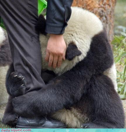 acting like animals,bear,begging,dont-go,panda,panda bear,pleading,Sad