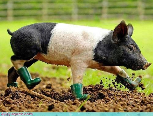 boots,cute,dirty,mud,oh my squee,pig,piglet,rain boots,ready,roll,rolling,squee spree,waddling