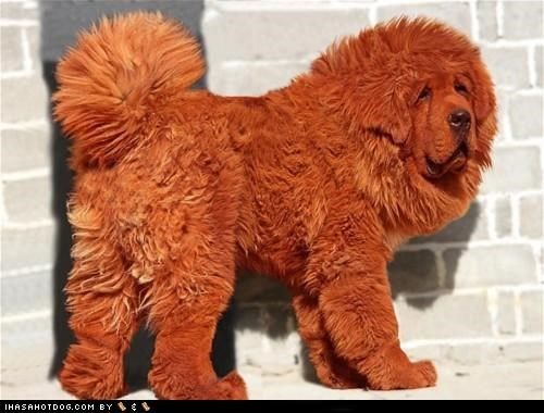 Hong Dong the Tibetan Mastiff is the 'World's Most Expensive Dog'