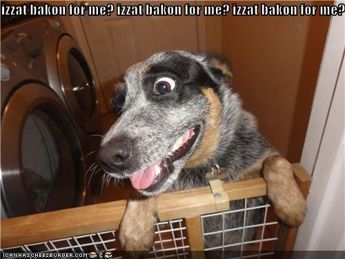 australian shepherd,bacon,do want,excited,hoping,is,mine,present,question,that,waiting