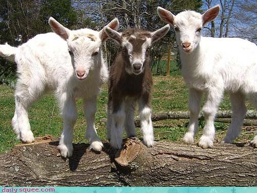 Squee Spree: Baby Goats Vs. Lambs