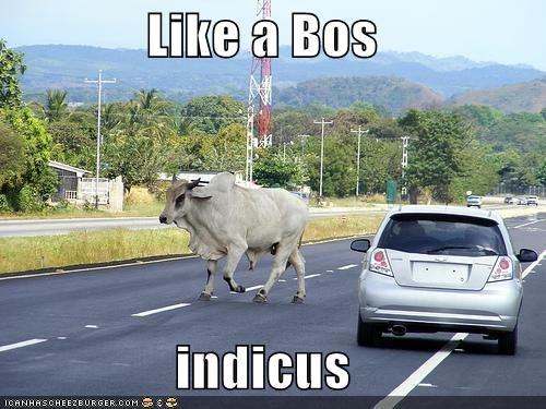 Like a Bos  indicus