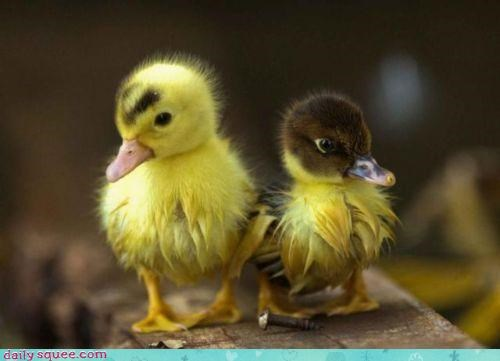 Warning: Duckling Fluff May Cause Squee Overloads