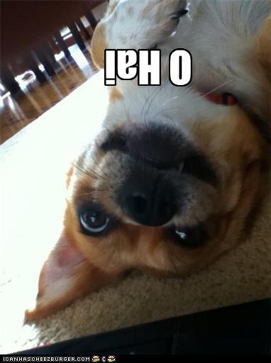 corgi,flipped,greeting,laying,o hai,ohai,upside down