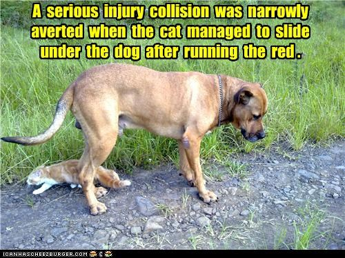 A  serious  injury  collision  was  narrowly  averted  when  the  cat  managed  to  slide  under  the  dog  after  running  the  red .