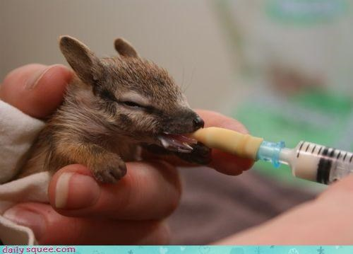 baby,boopable,double,ears,feeding,little,nose,oh my squee,pointy,whatsit,whatsit wednesday