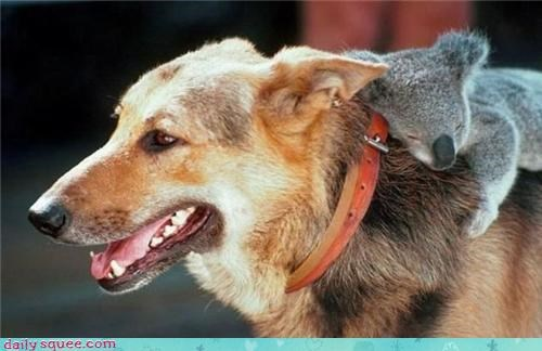 asleep,best ever,dogs,friends,friendship,german shepherd,koala,piggyback,ride,riding,sleeping,Symbiosis,symbiotic,symbiotic relationship