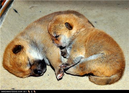 cuddling,heart-shaped,puppies,puppy,shiba inu,sister,sisters,sleeping,themed goggie week