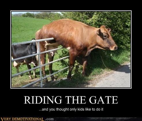 animals,cow,gate,stuck
