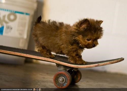 cyoot puppeh ob teh day,extreme,puppy,skateboard,skateboarding,whatbreed