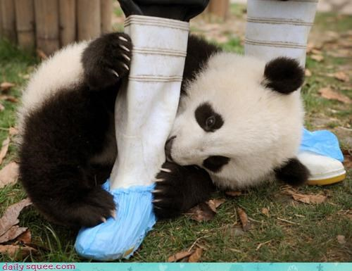 acting like animals,bamboo,boot,confused,cub,difficult,do not understand,eating,FAIL,gnawing,lie,panda,panda bear,pun,rain boot,rubber,upset