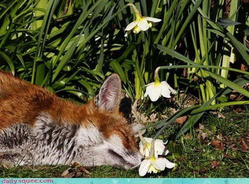 asleep,daffodil,daffodils,envy,fox,jealous,nap,napping,sleeping