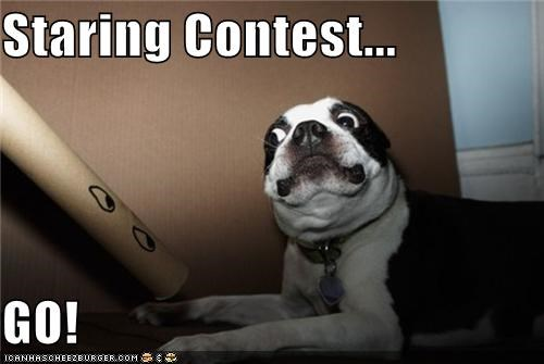 boston terrier,contest,eyes,go,Staring,staring contest,start,tube,versus
