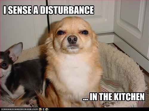 chihuahua,disturbance,kitchen,sense,sensing