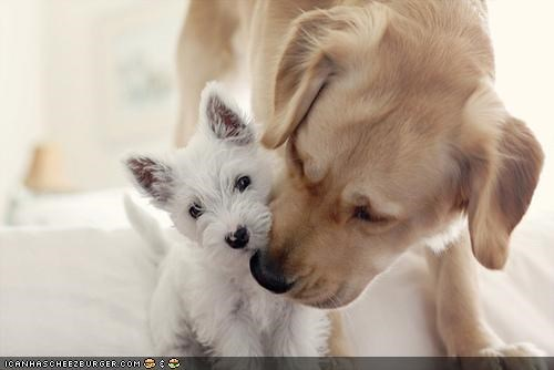 cyoot puppeh ob teh day,golden retriever,nuzzling,puppy,reassuring,west highland white terrier
