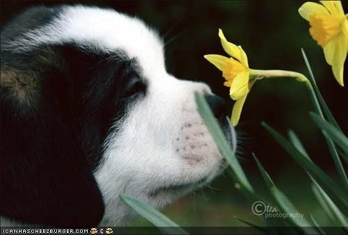 cyoot puppeh ob teh day,Flower,morning,puppy,saint bernard,smell,smelling