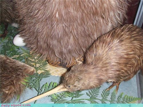 baby,bird,birds,coat,floofy,kiwi,kiwis,mother,squee spree