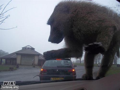 animals,monkey,optical illusion,perspective