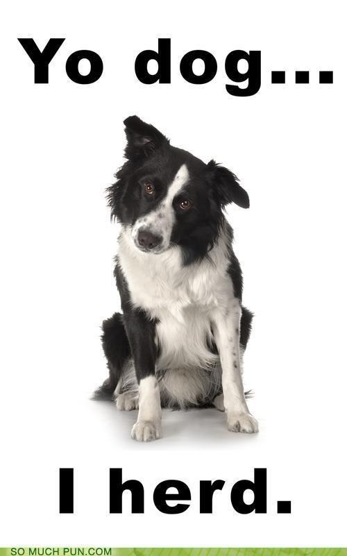border collie,dogs,Hall of Fame,heard,herd,homophone,homophones,meme,Xzibit,yo dawg