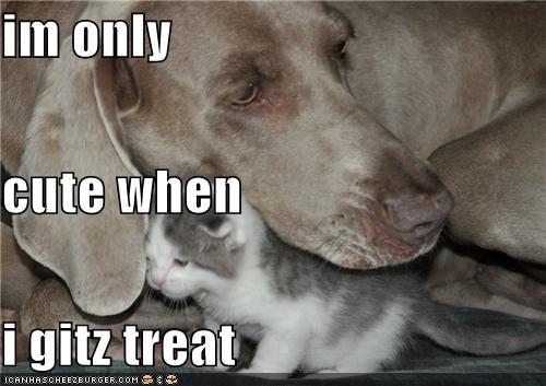 cat,conditional,cuddling,cute,get,great dane,kitten,only,receive,treat,when