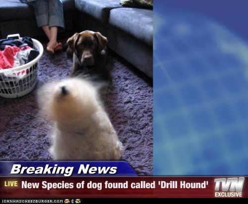 Breaking News - New Species of dog found called 'Drill Hound'