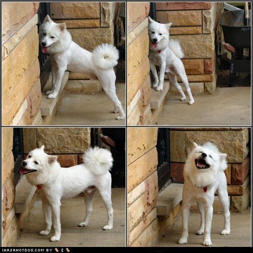 american eskimo dog,happy,not,panels,posing,puppy,shamed,shaved,smiling,themed goggie week