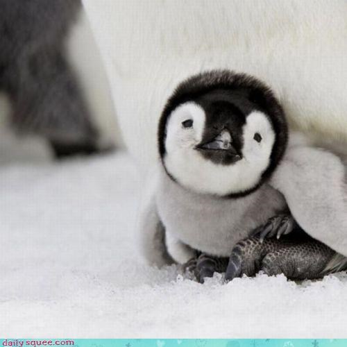 Itty Bitty Penguin Squee!