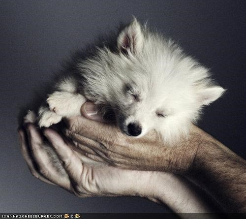 american eskimo dog,cuddling,cyoot puppeh ob teh day,handheld,hands,holding,puppy,sleeping,sleepy,snowball