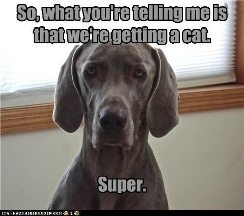 cat,do not want,excited,explanation,getting,listening,sarcasm,Super,unenthusiastic,unhappy,weimaraner