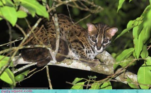 adorable,cat,interesting,itty bitty,leopard,leopard cat,rhyme,smitten,weird