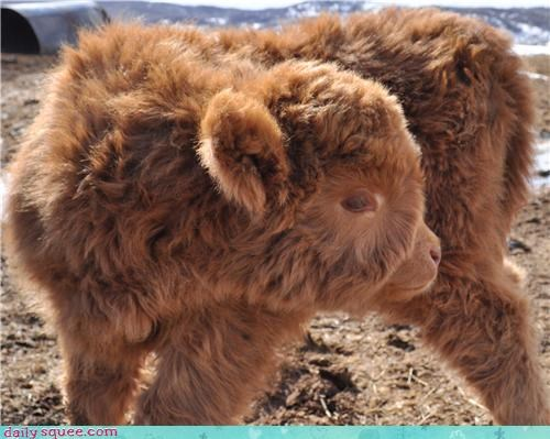 Baby Scottish Highland Cow