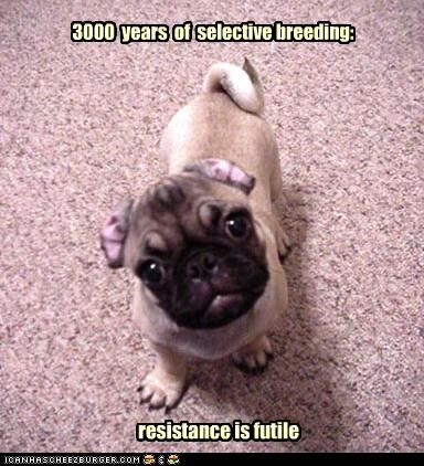 3000,breeding,futile,pug,puppy,puppy eyes,resistance,resistance is futile,selective,years