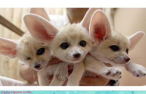Squee Spree: Fennecs by the Handful