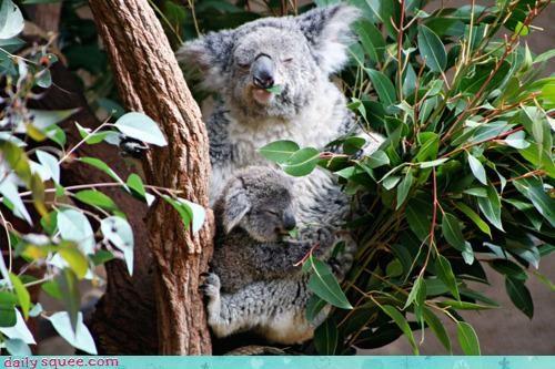 baby,baby on board,caution,koala,koalas,mother,pun