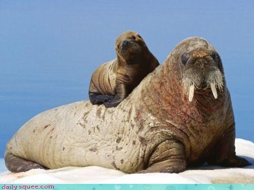 Walrus-Back Ride = Absolutely Squee